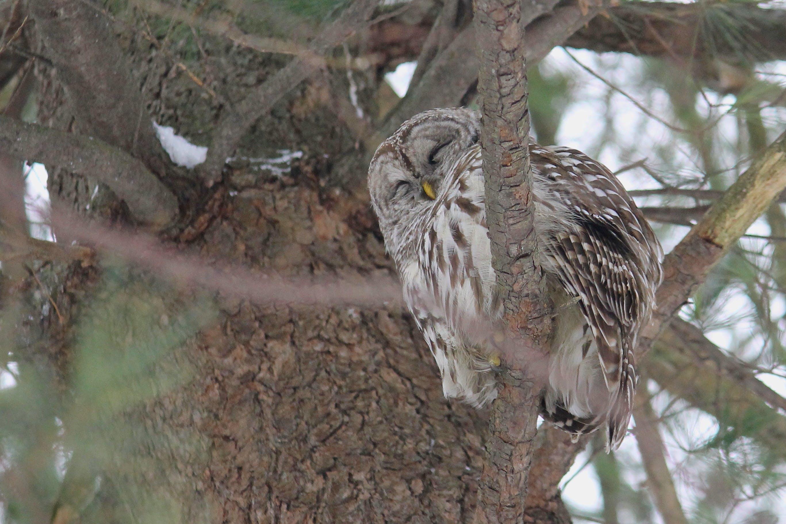 Free stock photo of Beard Owl   Birds   Tree   Nature