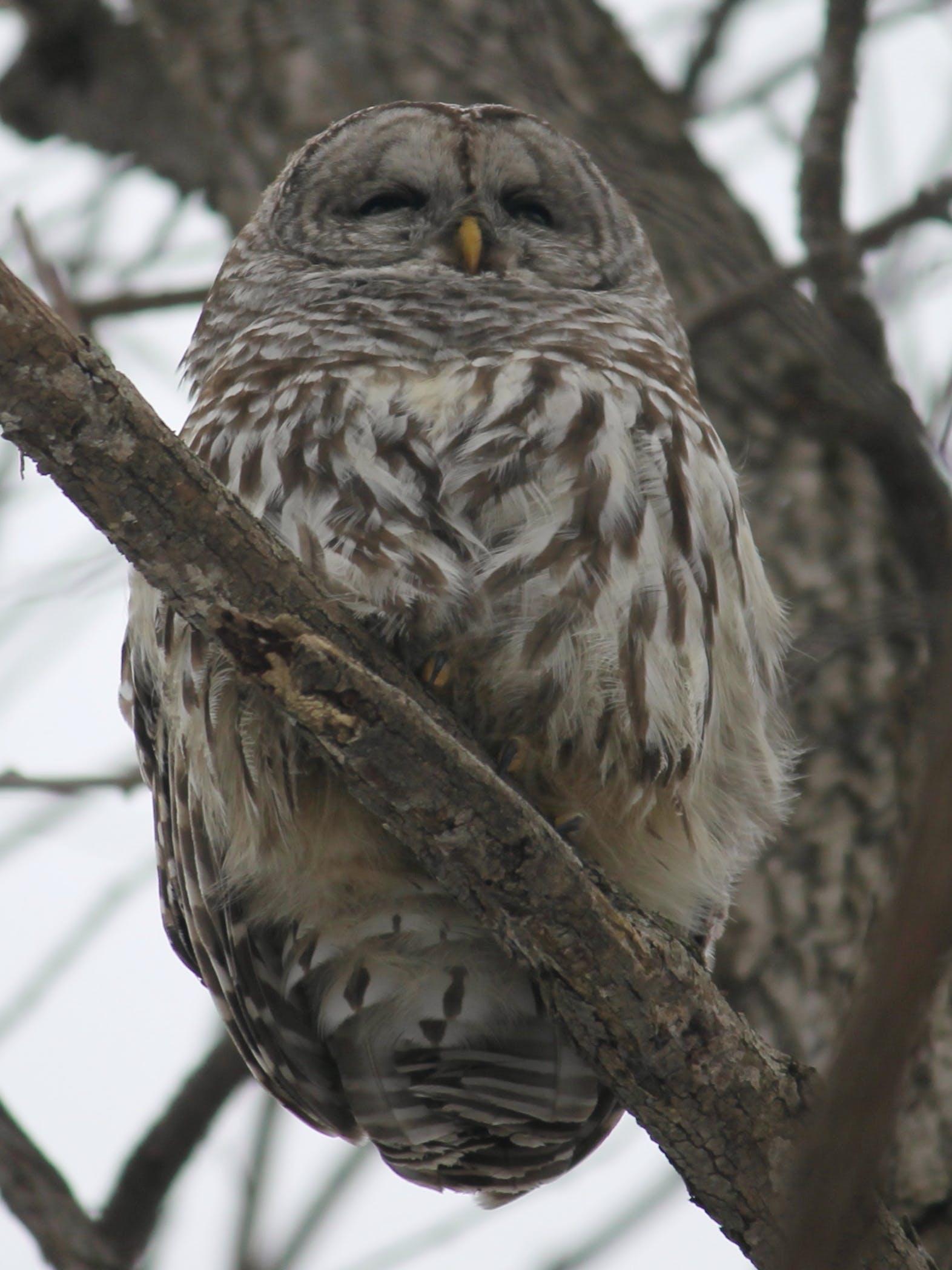 Free stock photo of Beard Owl   Birds   Nature   Winter
