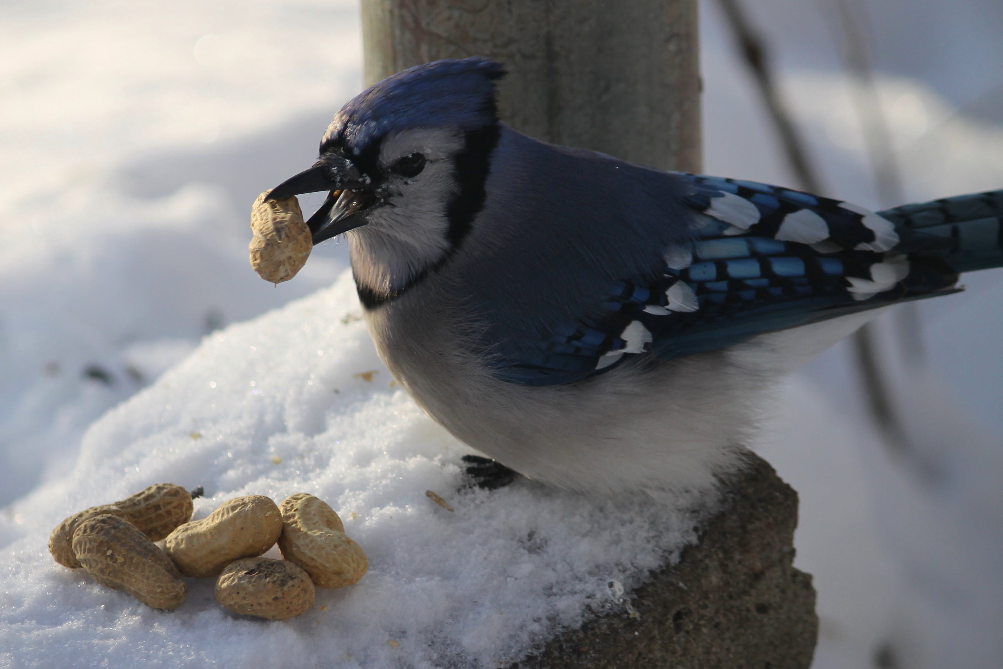 Free stock photo of birds, blue jay, nature photography, winter
