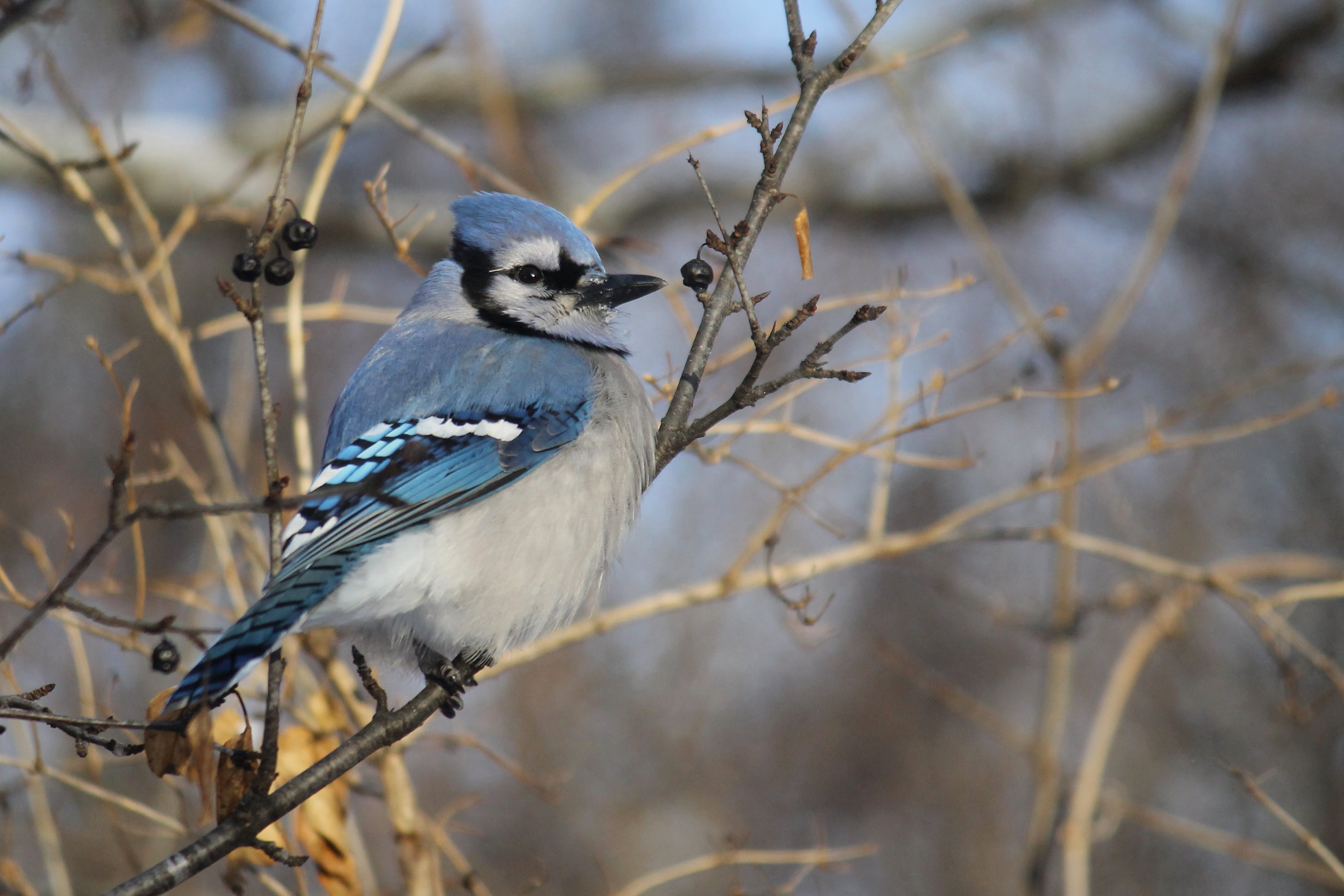 Free stock photo of birds, blue jay, nature photography