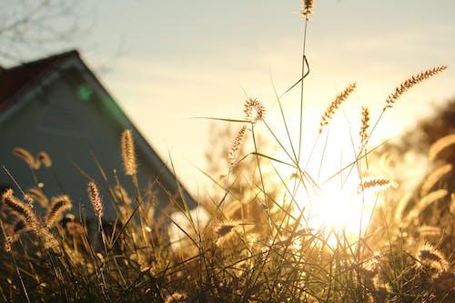 Free stock photo of grass, grass field, sun flare