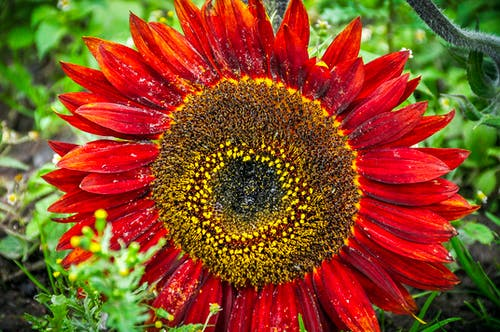 Základová fotografie zdarma na téma barevný, červená barva, flóra, květ