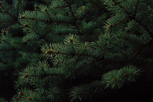 Immagine gratuita di albero, colori, sempreverde, verde