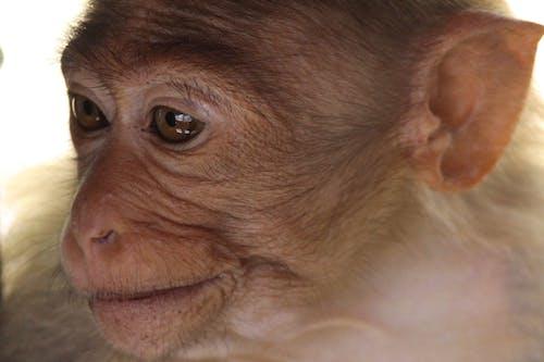 Безкоштовне стокове фото на тему «дика природа, елемент, мавпеня, очі»