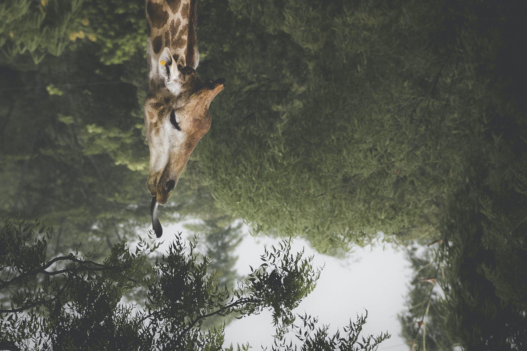 Free stock photo of animal, culture, eat, giraffe
