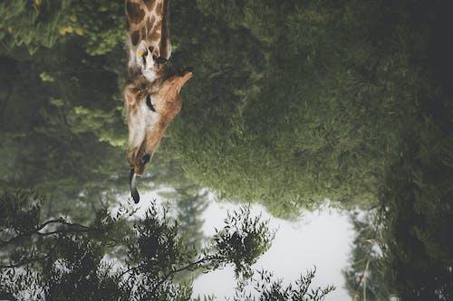 거꾸로, 기린, 녹색, 동물의 무료 스톡 사진