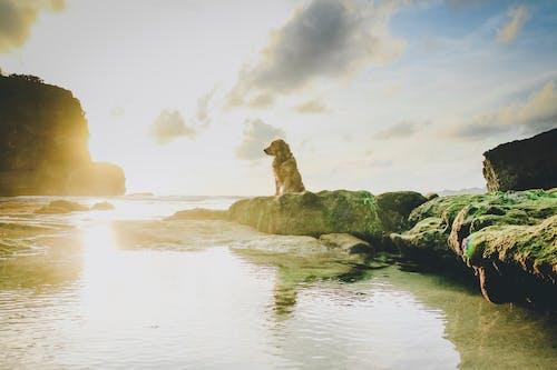 개, 골든 리트리버, 물, 바다의 무료 스톡 사진