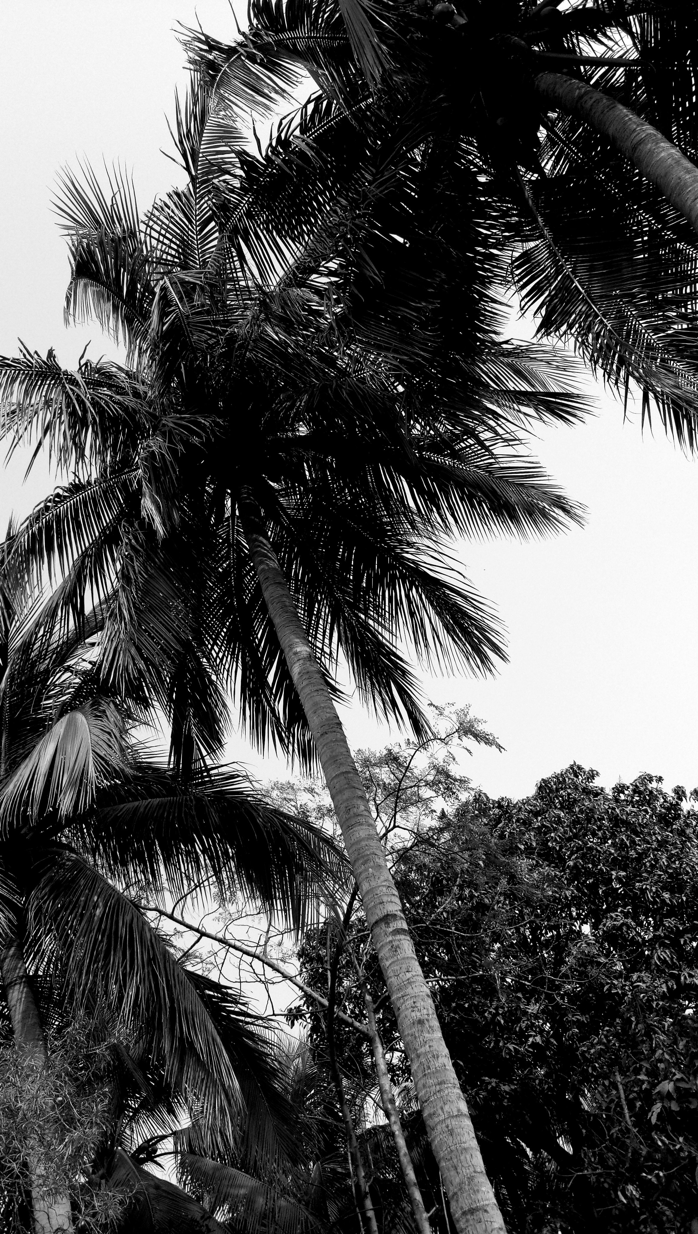 Free Stock Photo Of Black And White Coconut Tree Mother Nature