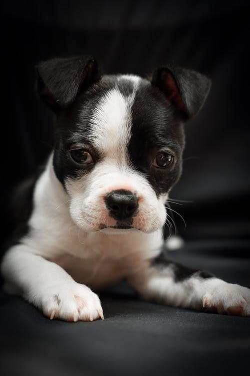 Black and White Short Coated Puppy