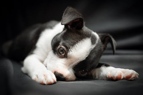 Black and White Short Coated Small Dog Lying on Black Leather Couch