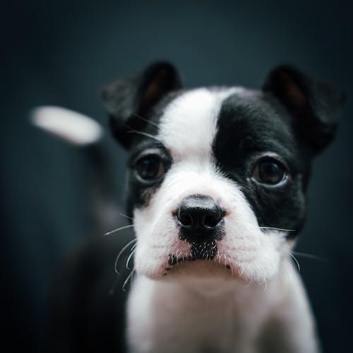 Free stock photo of animal lover, birthmark, black and white