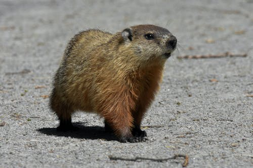 Free stock photo of groundhog, mammal, marmot
