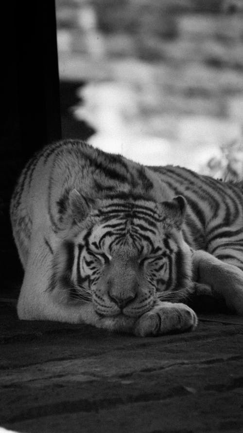 Grayscale Photo of Tiger Lying on Ground