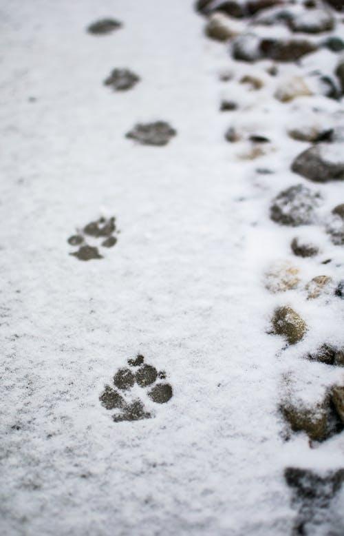 下雪, 下雪的, 列印, 爪子 的 免费素材照片