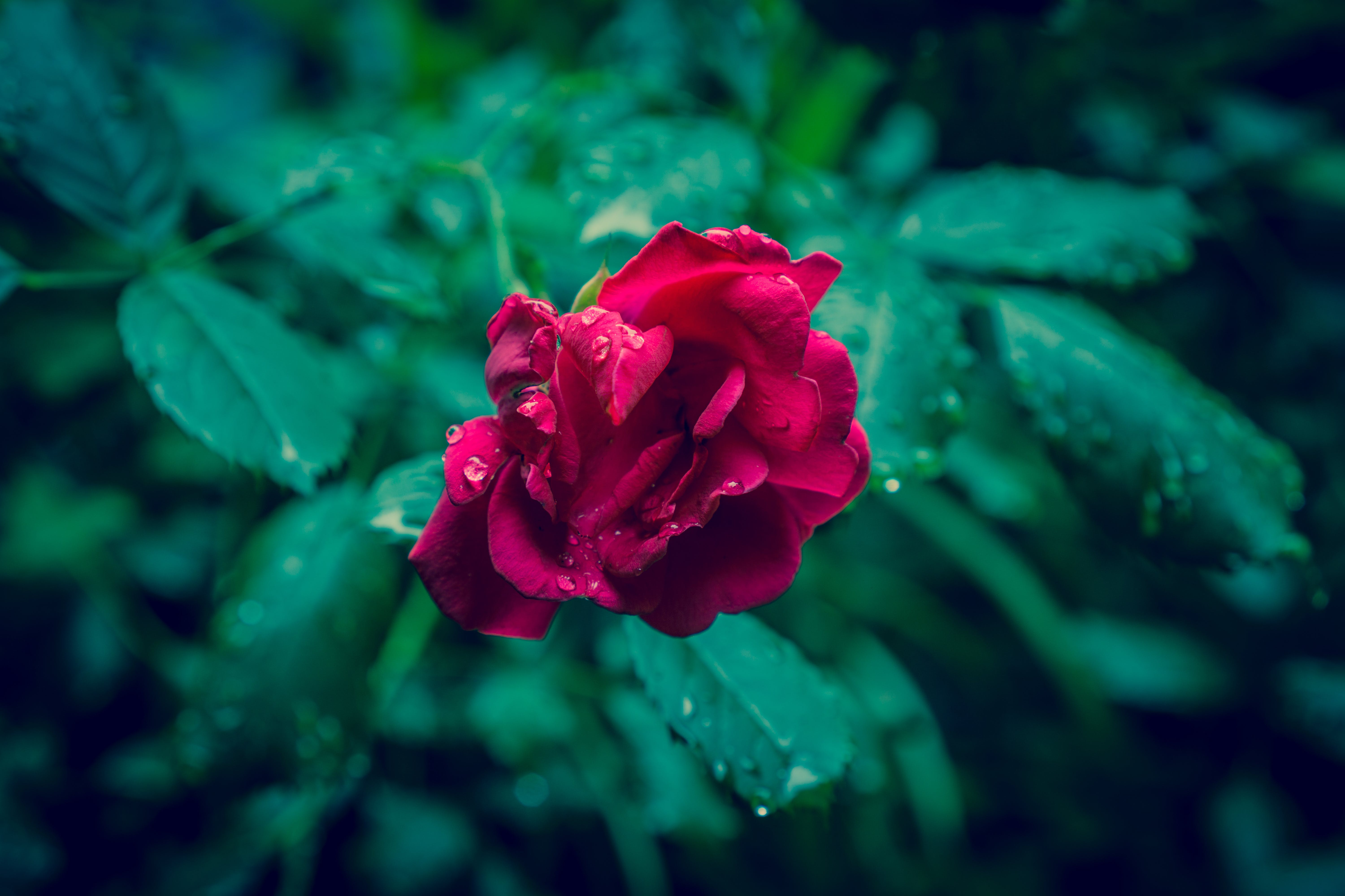 flower, rain, raindrops