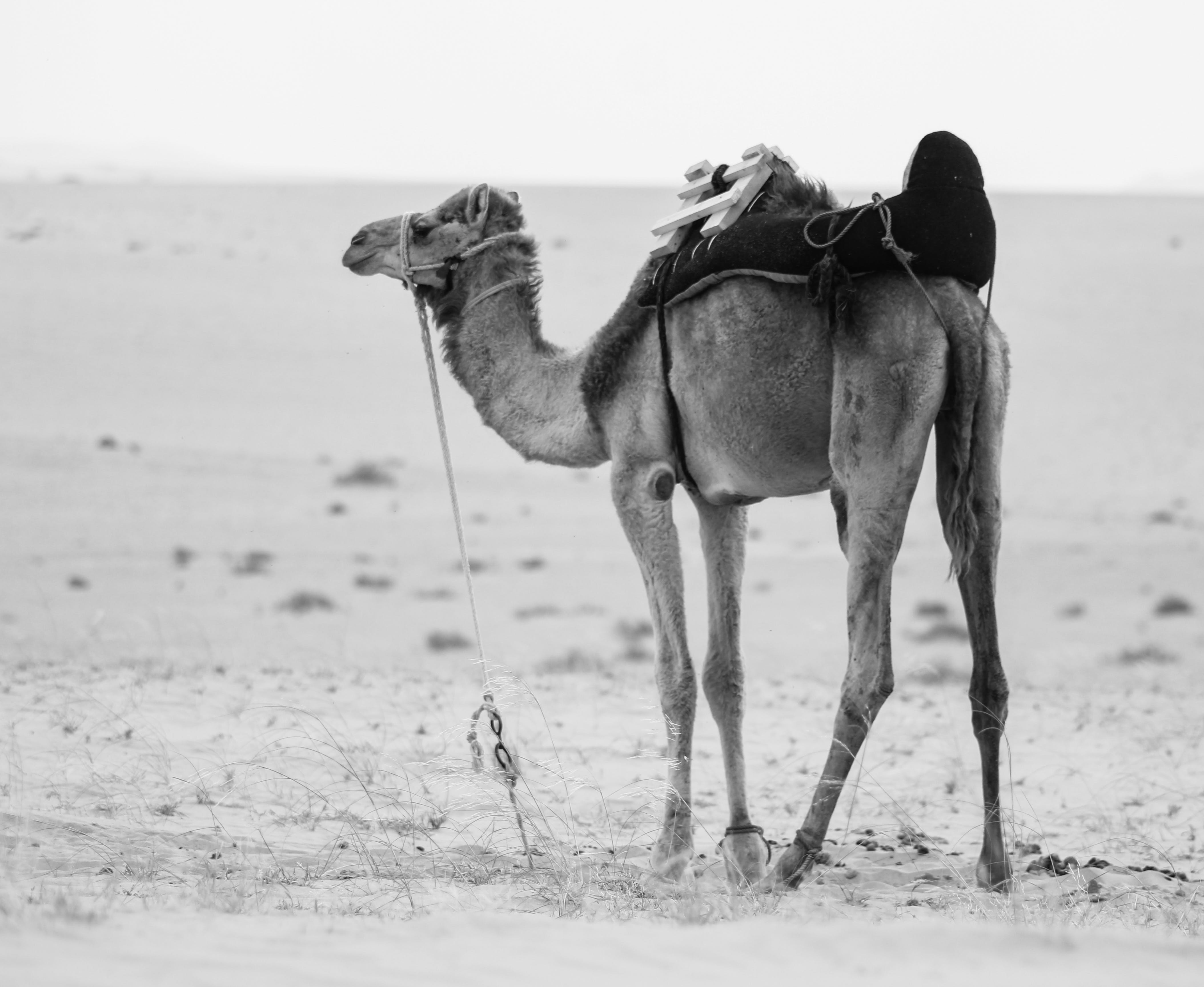 Monochrome Photo of Camel