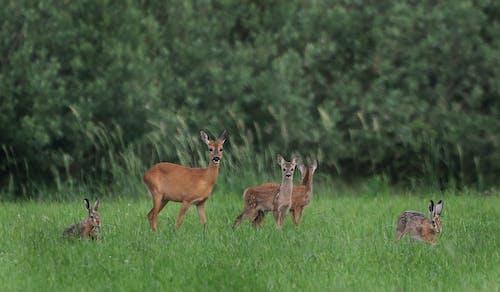 Free stock photo of animals, deer, hare