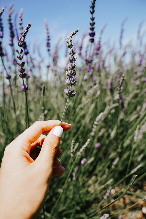Free stock photo of agriculture, aromatherapy, blooming