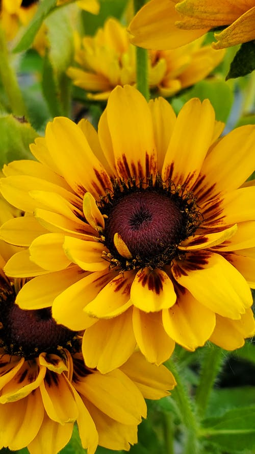 Close-Up Shot of Sunflowers in Bloom