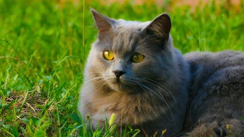 Fotobanka sbezplatnými fotkami na tému britský, divý, mačacia tvár, mačka