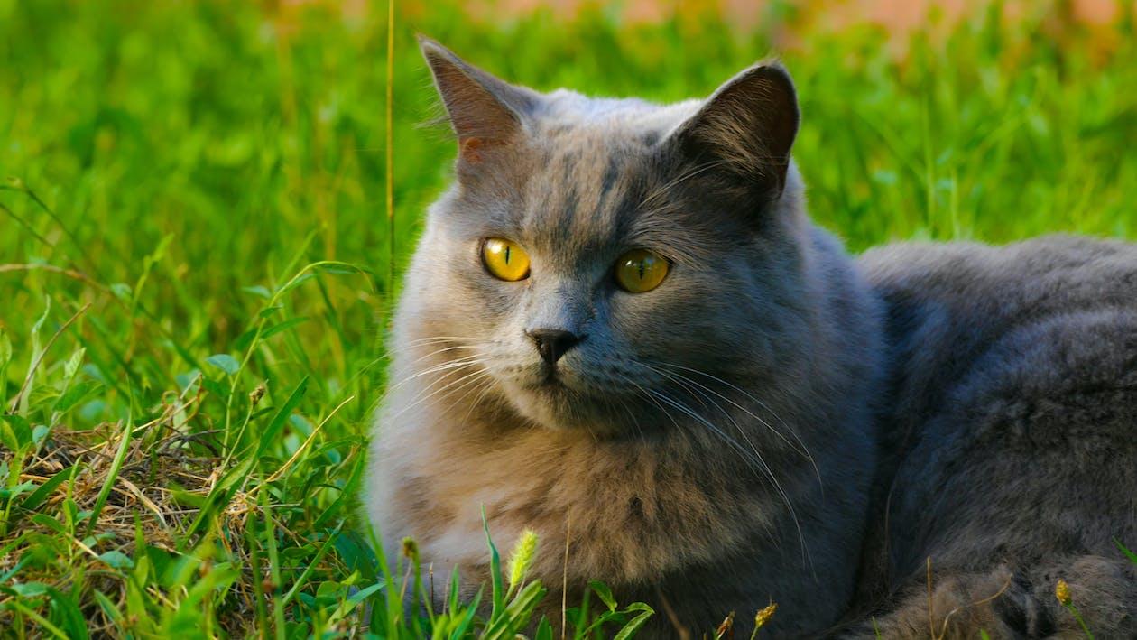 britannico, carino, gatto