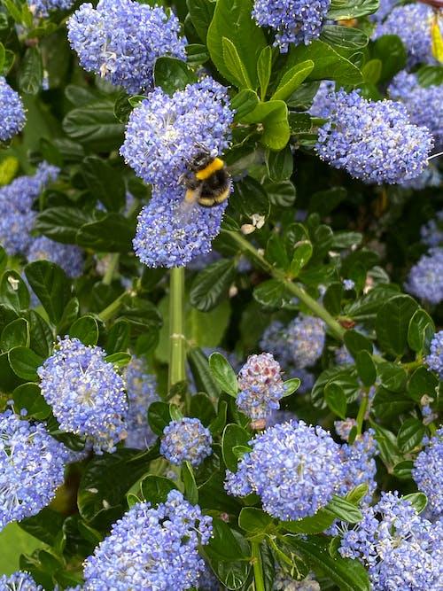 Immagine gratuita di ape, azzurro, blu