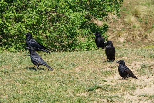 Black Crows on the Grass
