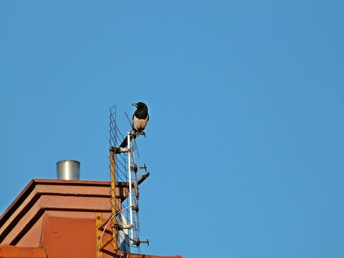 Free stock photo of magpie on the antenna, magpie on the roof, magpie pie on the roof