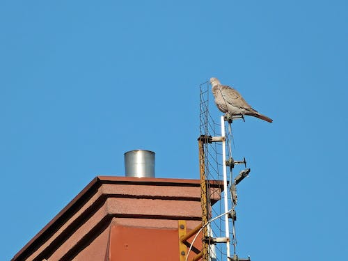 Free stock photo of ringed turtle dove, ringed turtle dove on the roof