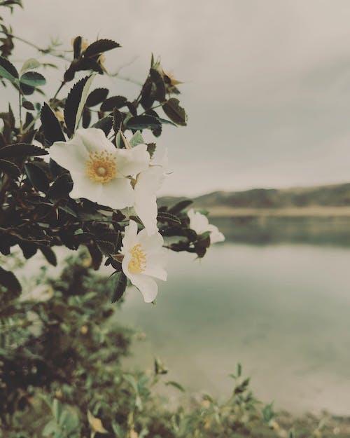 Foto d'estoc gratuïta de almaty, esten erbol, flor