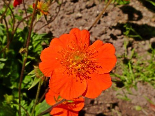 Free stock photo of flower, garden flower, orange flower