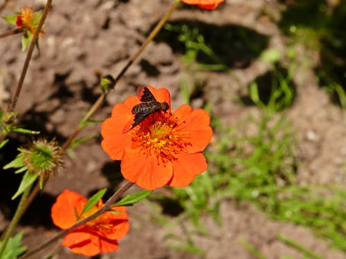 Free stock photo of insect on am orange flower, insect on flower