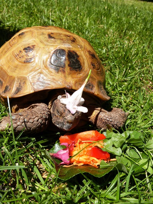 Free stock photo of tortoise in cap, turtle in a cup