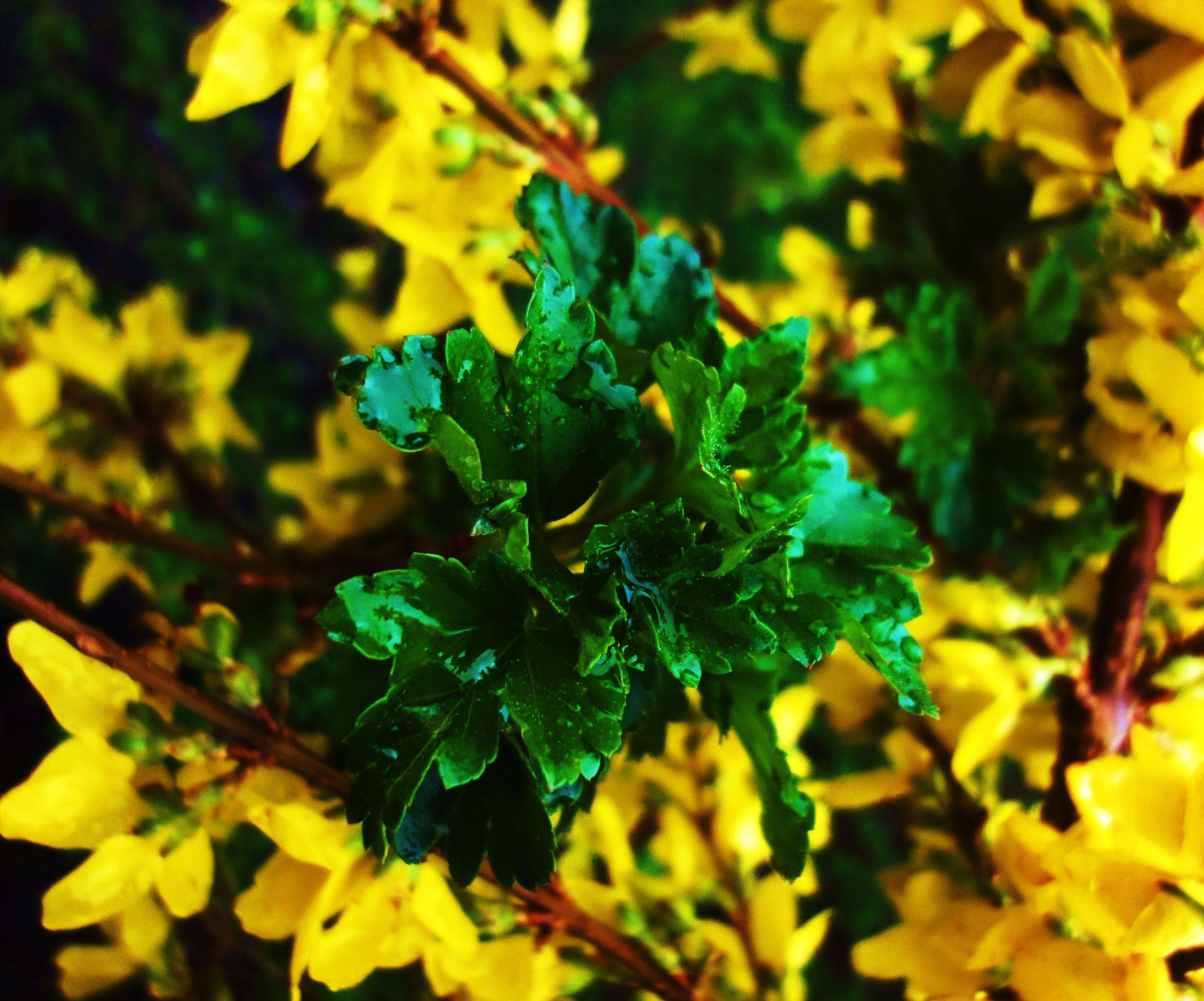 Free stock photo of flowers, forsythia, green, leaves