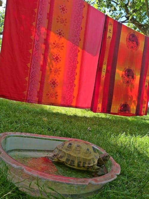 Free stock photo of tortoise in garden bath, turtle in bath