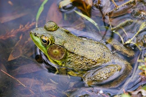 Free stock photo of amphibian, animal, animal image