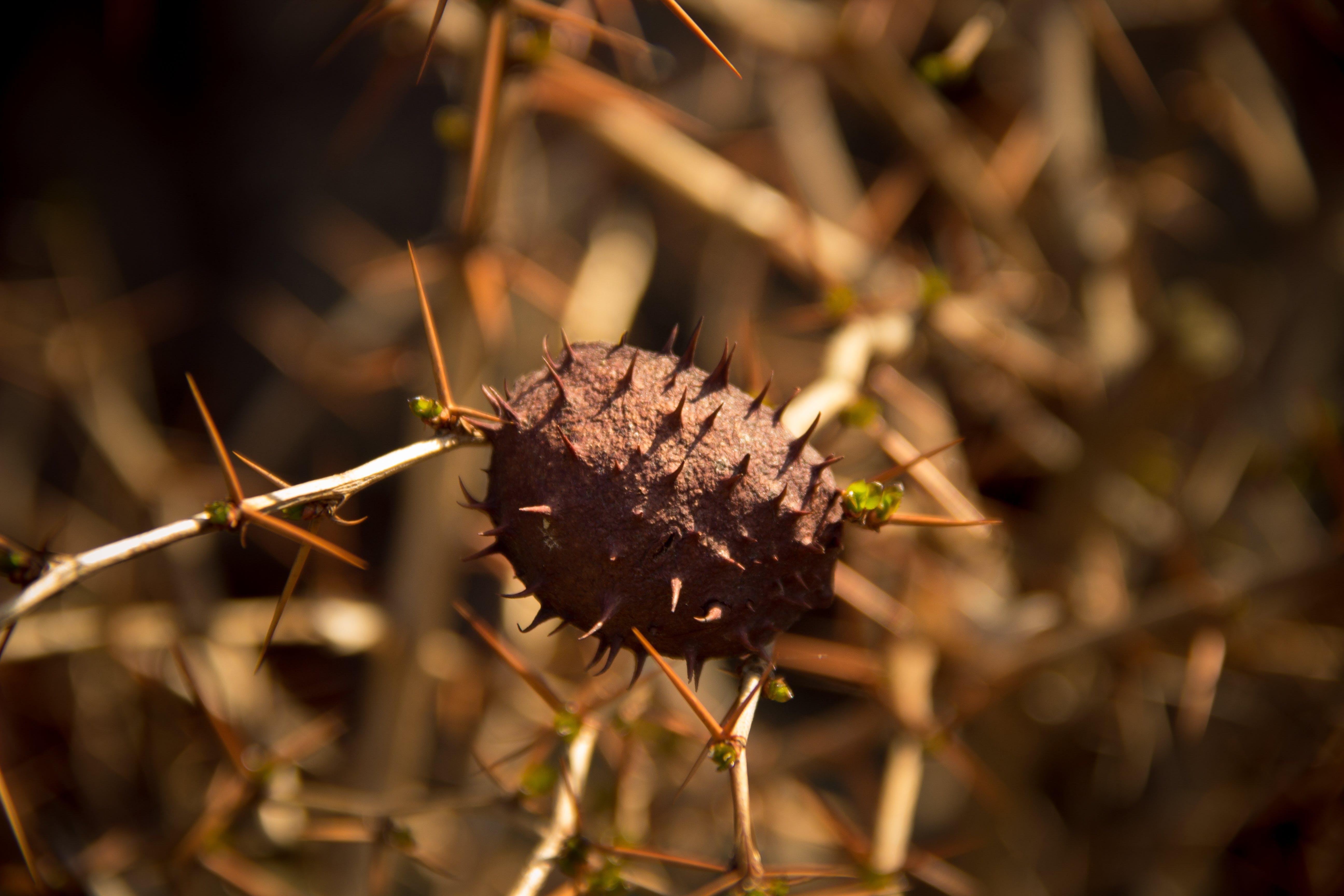 Free stock photo of nature, shell, needle, nut