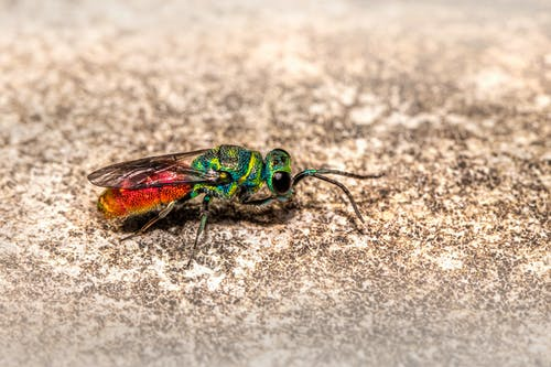 Free stock photo of animal world, bug, chrysis ignita