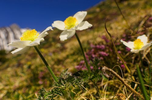 Free stock photo of alpine, alpinism, blooming flowers