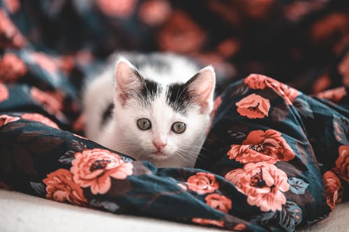 White and Black Cat on Red and Black Floral Textile