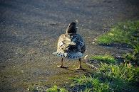 bird, animal, duck