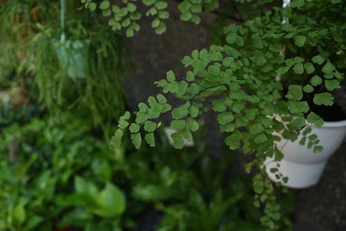 Free stock photo of Adiantum capillus-veneris L., plant, potted plant