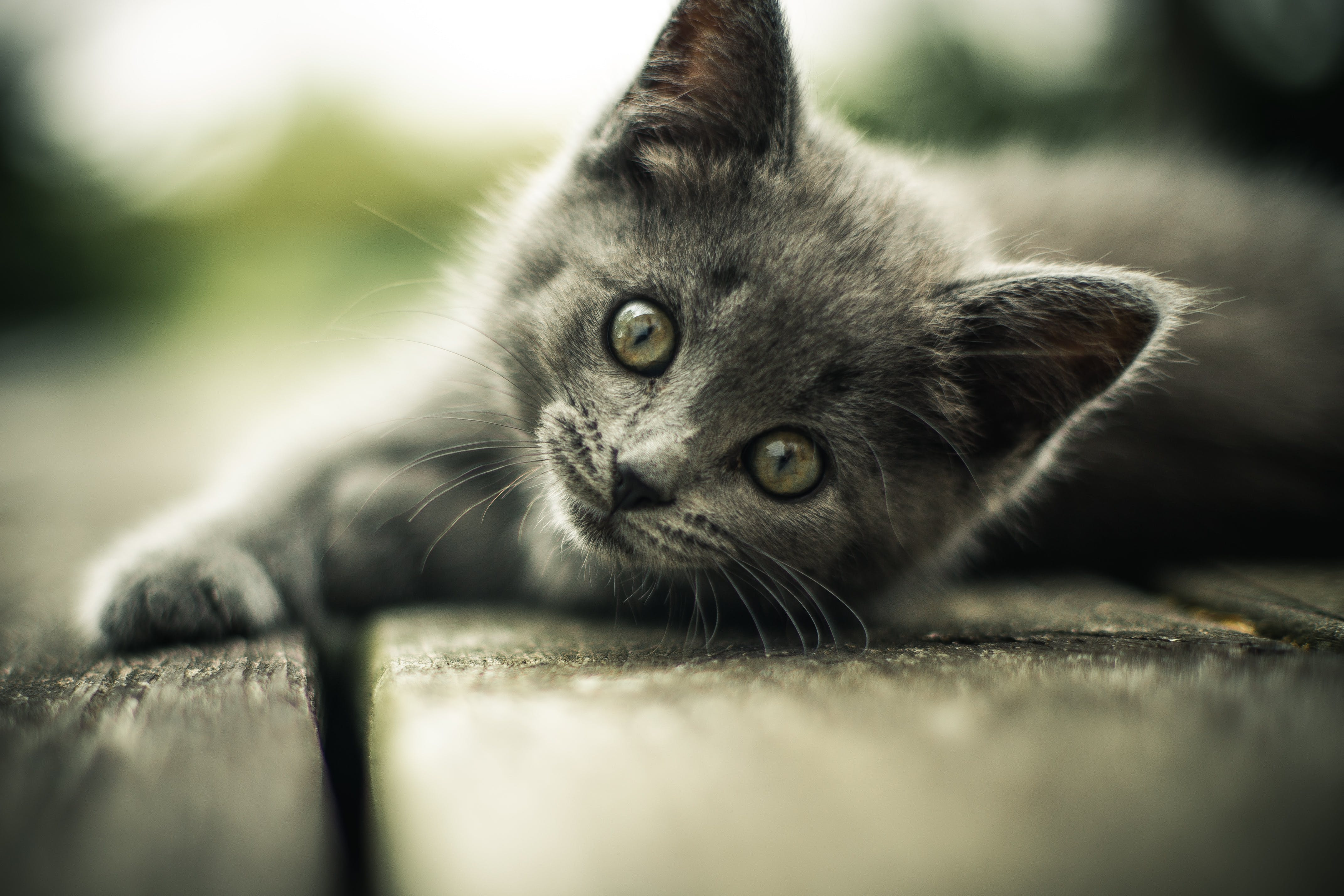 Short-haired Gray Kitten on Pavement
