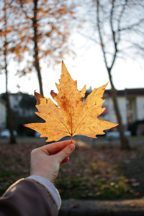 Crop person showing dry maple leaf in park