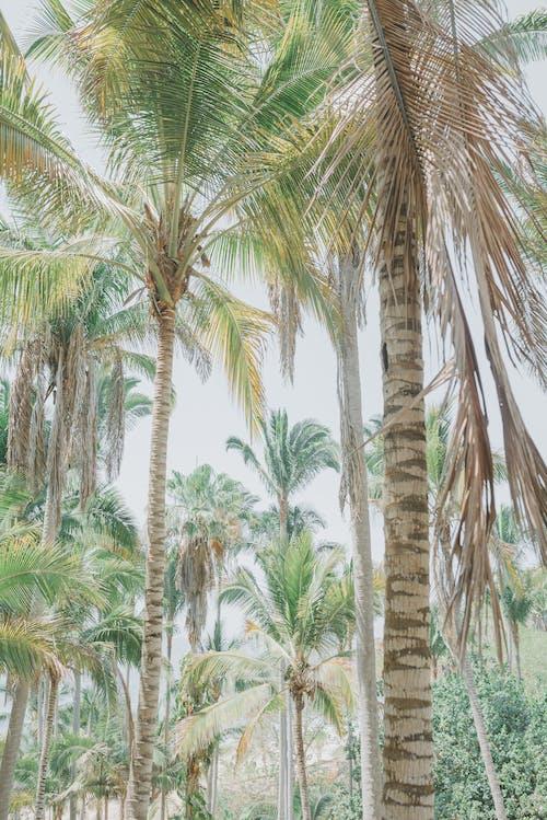 エキゾチック, ココナッツ, トロピカルの無料の写真素材