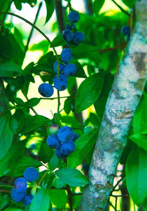 Kostnadsfri bild av antioxidant, beskära, blåbär