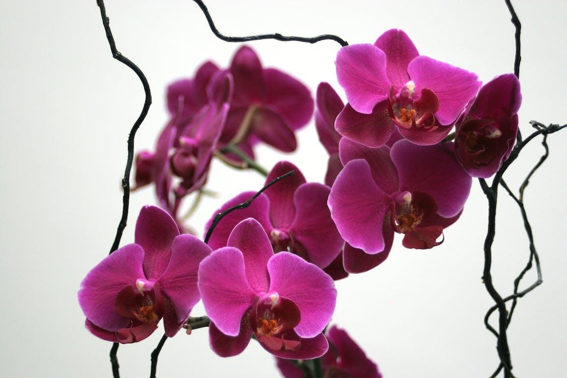Foto stok gratis anggrek, bunga-bunga, kembang