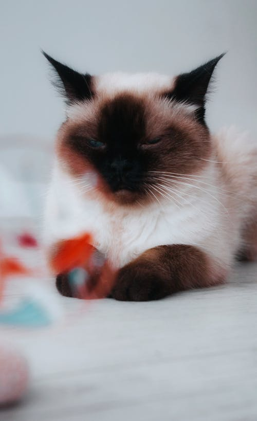 Close-Up Shot of an Adorable Siamese Cat