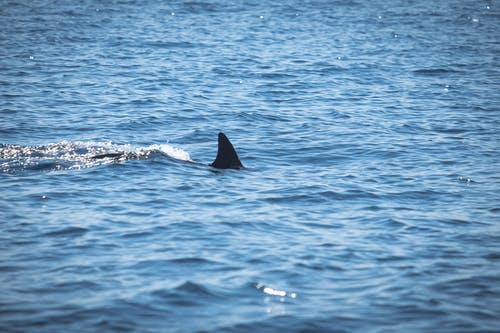 Free stock photo of blue, blue water, dolphin