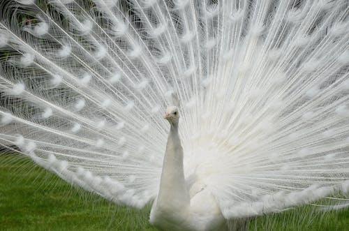 Безкоштовне стокове фото на тему «aves, blanco, pavo реальний»